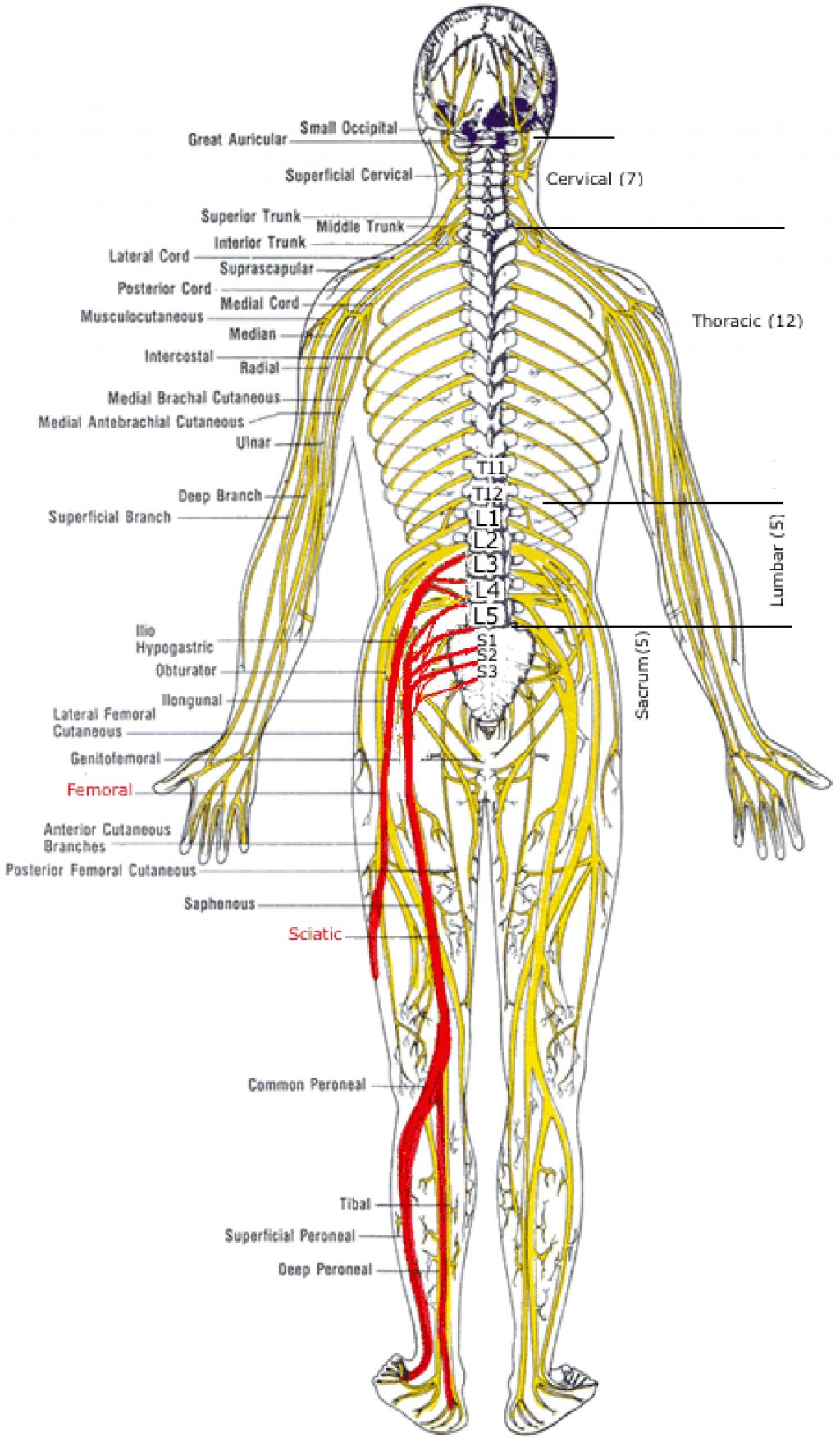 Spine nerves diagram image collections diagram design ideas spinal nerves diagram image collections diagram design ideas spine nerves diagram gallery diagram design ideas spine pooptronica Images