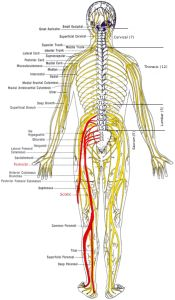 Spine and nerves diagram