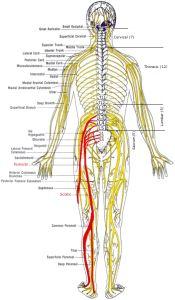 Spine and nerves diagram